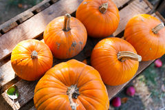 Czech agriculture and farming - autumnal pumpkins in the garden Stock Photos