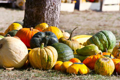 Czech agriculture and farming - autumnal pumpkins in the garden Royalty Free Stock Images