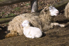 Czech breed sheep valaška with Easter lamb Stock Images