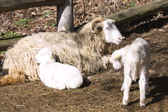 Czech breed sheep valaška with Easter lamb Royalty Free Stock Photography
