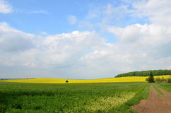Czech country. Typical summer Czech country with oilseed rape Stock Photos