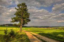 The Czech countryside. Solitary pine tree standing in a field trip Stock Images