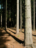 Czech forrest. Czech foprrest and trees in the sun Royalty Free Stock Photography