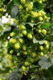 Czech hops Royalty Free Stock Photo