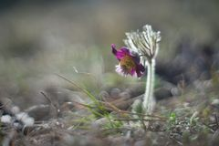 Czech pasqueflower or pulsatilla in bloom with nice bokeh or blurry background. Royalty Free Stock Photo