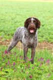 Czech pointer in flowers Stock Images