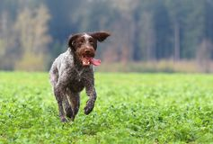 Czech pointer moving Royalty Free Stock Photography