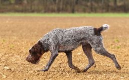 Czech pointer sniffing Stock Photos