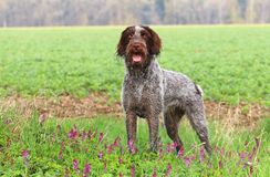 Czech pointer in spring Royalty Free Stock Photography