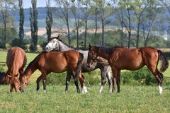 Dappled grey and chestnut horses. Czech republic,Bunov,dappled grey and chestnut horse Stock Images