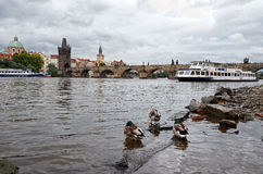 Czech Republic. Ducks on the Vltava River in the background Charles Bridge. 17 June 2016. Royalty Free Stock Image