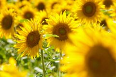 Czech Republic - Field of Sunflowers. Royalty Free Stock Photography