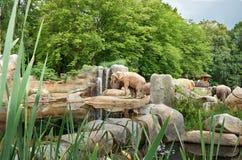 Czech Republic. Prague. Prague Zoo. Elephant. June 12, 2016. Czech Republic. Prague. Prague Zoo. Elephant and waterfall. June 12, 2016 Royalty Free Stock Image