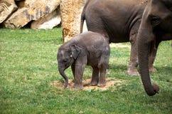 Czech Republic. Prague. Prague Zoo. Little baby elephant. June 12, 2016. Czech Republic. Prague. Prague Zoo. Little baby elephant in zoo. June 12, 2016 stock photo