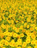 Czech Republic - Field of Sunflowers. Royalty Free Stock Image