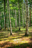 Czech spring forest. Fresh spring forest in the Jeseniky mountains Stock Photo