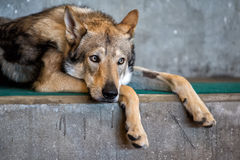 Czech wolf dog portrait relaxing and looking Stock Images