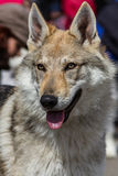 Czech Wolfdog. A superb czech wolfdog at a canine competition stock photography