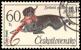 CZECHOSLOVAKIA - CIRCA 1965: a stamp, printed in Czechoslovakia, shows a Czesky Fousek, series World Dog Show at Brno Stock Photography