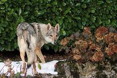 Czechoslovakian wolf dog Stock Images