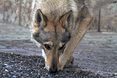 Czechoslovakian wolf dog Stock Photography