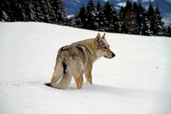 Czechoslovakian wolf dog Royalty Free Stock Image