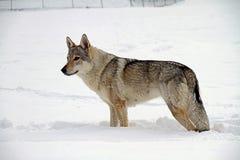 Czechoslovakian wolf dog Royalty Free Stock Photo