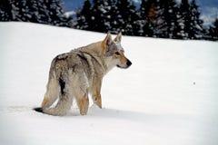 Czechoslovakian wolf dog Royalty Free Stock Photos