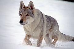 Czechoslovakian wolf dog Stock Image