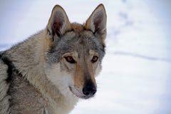 Czechoslovakian wolf dog Stock Photos