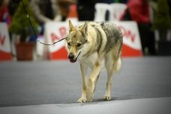 Czechoslovakian Wolf Dog parading in a contest stock photography