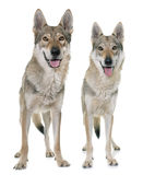 Czechoslovakian wolf dogs Royalty Free Stock Image