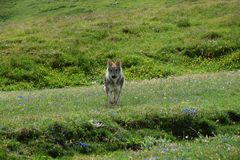 Czechoslovakian wolf, green slopes and flowers stock photos