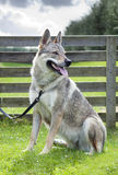 Czechoslovakian Wolfdog. Stock Photos
