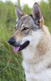 Czechoslovakian Wolfdog. Royalty Free Stock Images