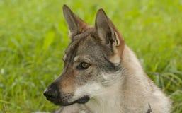 Czechoslovakian Wolfdog. The Czechoslovakian Wolfdog is a relatively new breed of dog Stock Photo