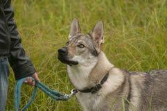 Czechoslovakian Wolfdog. The Czechoslovakian Wolfdog is a relatively new breed of dog Royalty Free Stock Photography