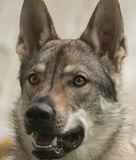 Czechoslovakian Wolfdog Stock Photos