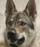 Czechoslovakian Wolfdog. The Czechoslovakian Wolfdog is a relatively new breed of dog Stock Photos