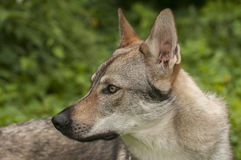 Czechoslovakian Wolfdog Royalty Free Stock Photography