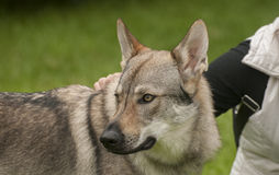 Czechoslovakian Wolfdog Stock Photo