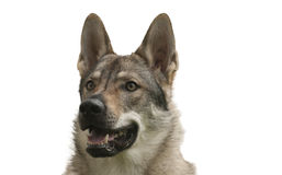 Czechoslovakian Wolfdog Royalty Free Stock Images