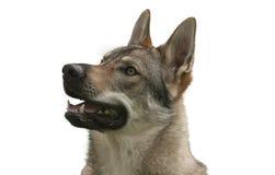 Czechoslovakian Wolfdog. The Czechoslovakian Wolfdog is a relatively new breed of dog Stock Images