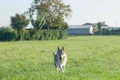 Czechoslovakian Wolfdog Arkivfoto