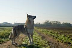 Czechoslovakian Wolfdog Royaltyfria Foton