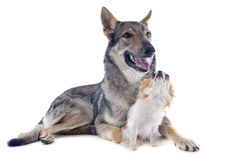 Czechoslovakian Wolfdog and chihuahua Stock Images