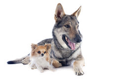 Czechoslovakian Wolfdog and chihuahua Stock Photos