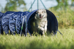 Czechoslovakian Wolfdog comes out of agility dog tunnel Royalty Free Stock Photography