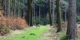 Czechoslovakian wolfdog in the forest Stock Photography