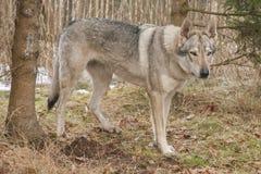 Czechoslovakian Wolfdog Stock Photos